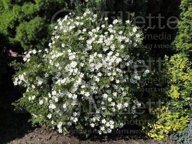 Potentilla fruticosa abbotswood fleur blanche feuillage for Plante annuelle