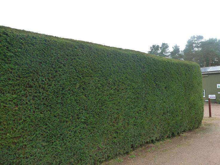 Best 25 Leylandii Hedge Ideas On Pinterest Fast Growing Hedge Plants Privacy Plants Fast