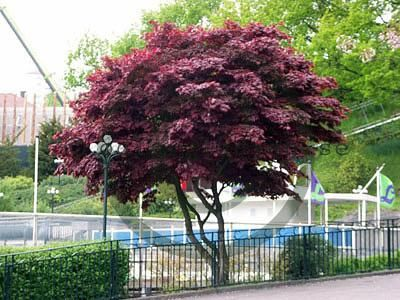 Acer palmatum f. atropurpureum