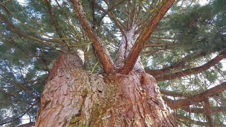 Stare drzewo ... Jego nie zetną.