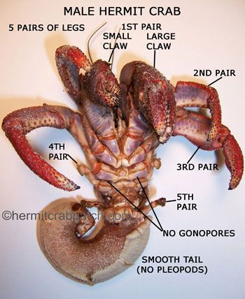 Male Hermit Crab Anatomy