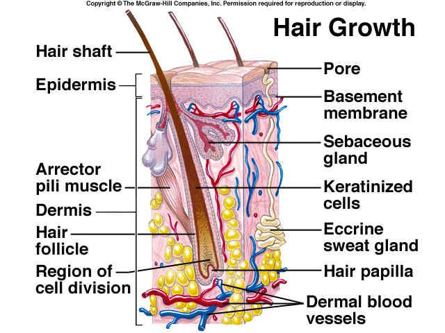 the integumentary organ system biology essay Using stem cells, scientists grew complex 3d skin tissue - complete with hair follicles and sebaceous glands - that connected with nerves and muscle fibers when.