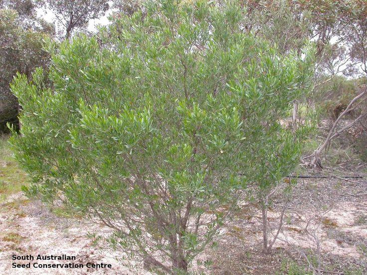 Dodonaea viscosa ssp. spatulata - Spoon-leaf Hop-bush, Height: 4m x Width: