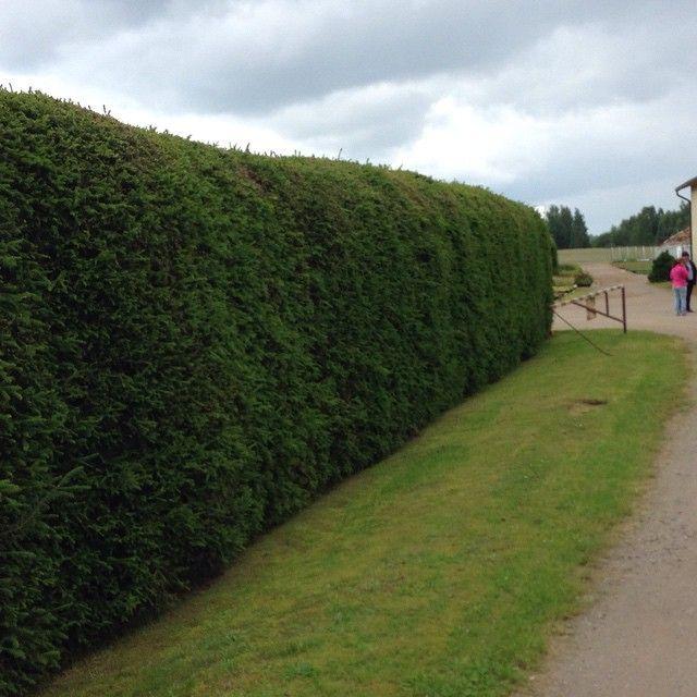 Fir hedge. Живая изгородь из ели обыкновенной. Отлично заменяет забор в условиях Северо-Запада. Главное не забыть стричь!) Стрижется 2-3 раза в год. Если забыть - превратится в 15 метровое дерево.