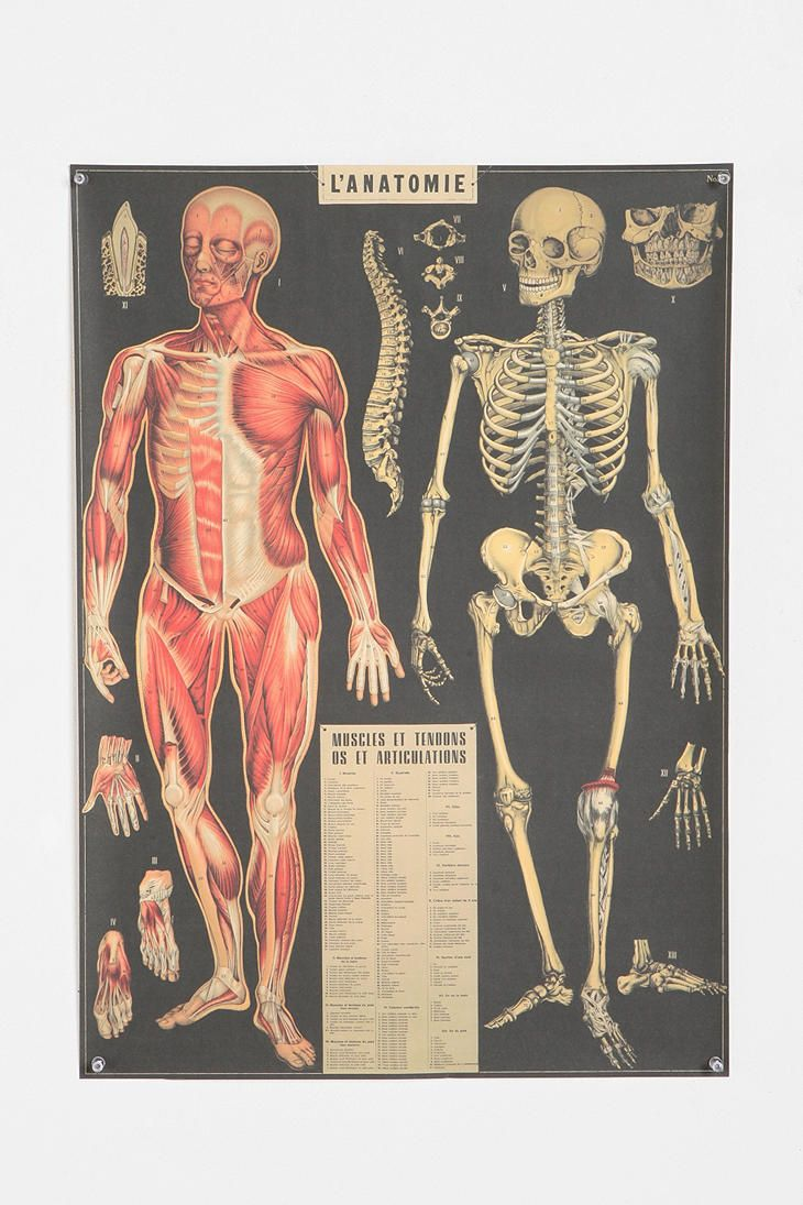 L'Anatomie Poster: Urbanoutfitters, Wall Art, Urban Outfitters, Wrapping Papers, Anatomy Poster
