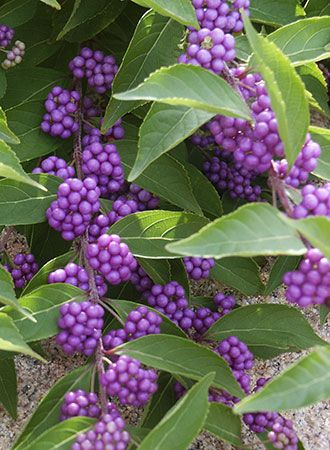 Callicarpa dichotoma (beautyberry) They are pretty all year and have cool purple berries in the winter.