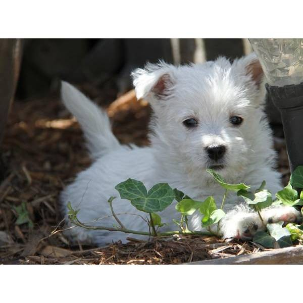 Princess Lucy. A cute female West Highland White Terrier - Westie puppy for sale in Worth, MO 64499.