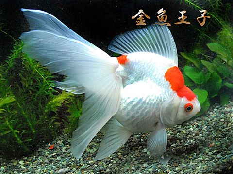 White long-tail ryukin goldfish