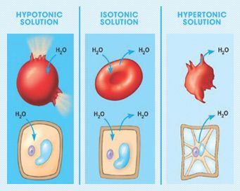 IV Solution Chart: Hypotonic, Isotonic, and Hypertonic Solutions. The tonicity of the solution impacts the cells. Hypotonic solution causes excess H2O to enter the cell, potentially causing the cell to lyse. Hypertonic solution causes H20 to leave the cell, leading to flaccidity. Isotonic promotes fluid balance between the intracellular and extracellular area.