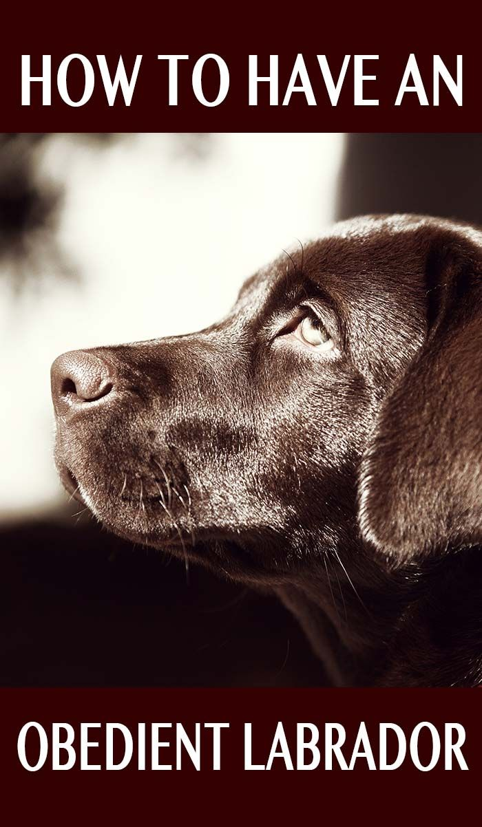 5279 best Labrador Retrievers images on Pinterest | Labrador ...