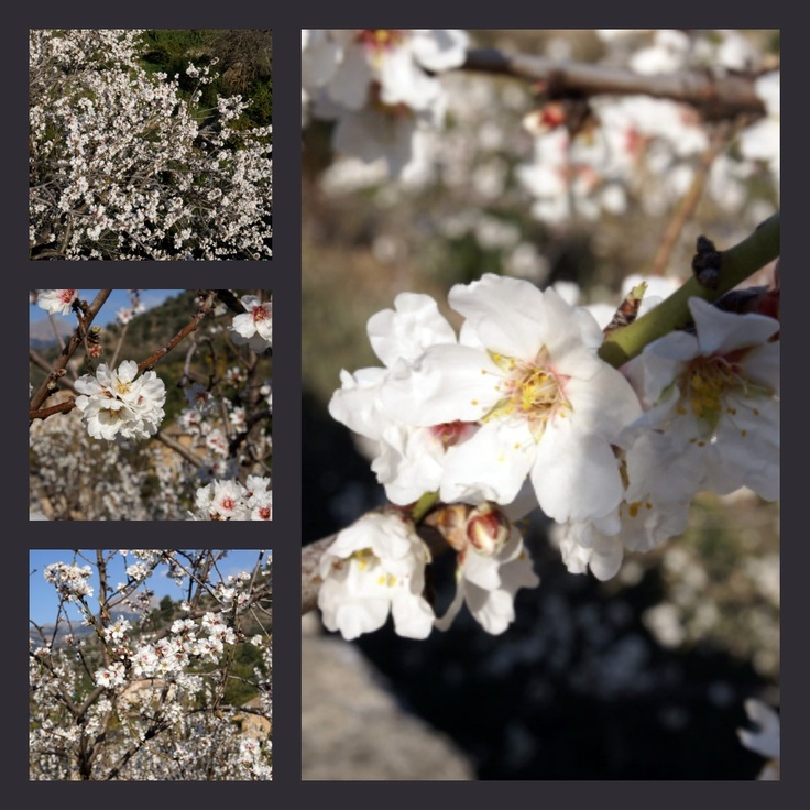 Flor d'Ametler (almond blossom in Mallorca in January-February) www.almendroenflor.com