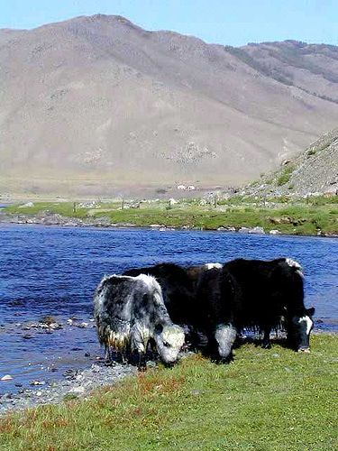 Pictures of Yaks -- Animal Photos!