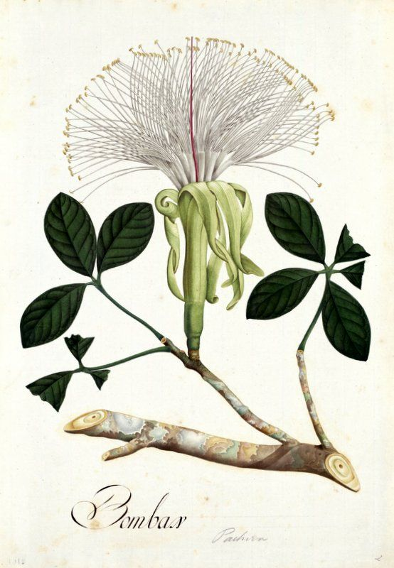 Bombax. Proyecto de digitalización de los dibujos de la Real Expedición Botánica del Nuevo Reino de Granada (1783-1816), dirigida por José Celestino Mutis: www.rjb.csic.es/icones/mutis. Real Jardín Botánico-CSIC.