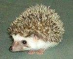 Hedgehog breeders :)