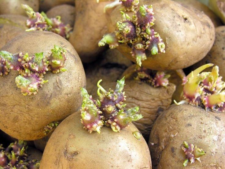Com o preço da batata chegando a preços de países ricos e cada dia mais o uso de agrotóxicos fica mais e mais evidente, nada melhor do q...