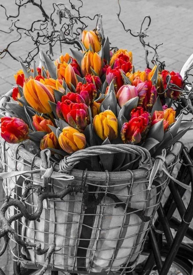 Tulipàn
