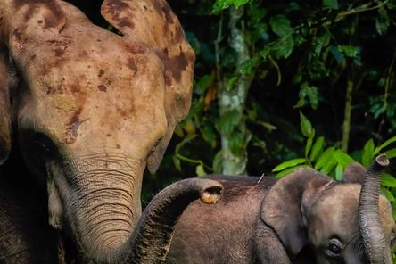"""""""I was sitting in the office tent in a remote gorilla field station in Gabon when I heard a noise outside. I stepped out of the tent to find these two forest elephants under our mango tree. The normally aggressive giants completely ignored me as they spent an hour feeding on our mangos."""""""