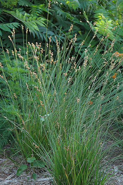 197 best images about ornamental grasses on pinterest for Ornamental grass with yellow flowers