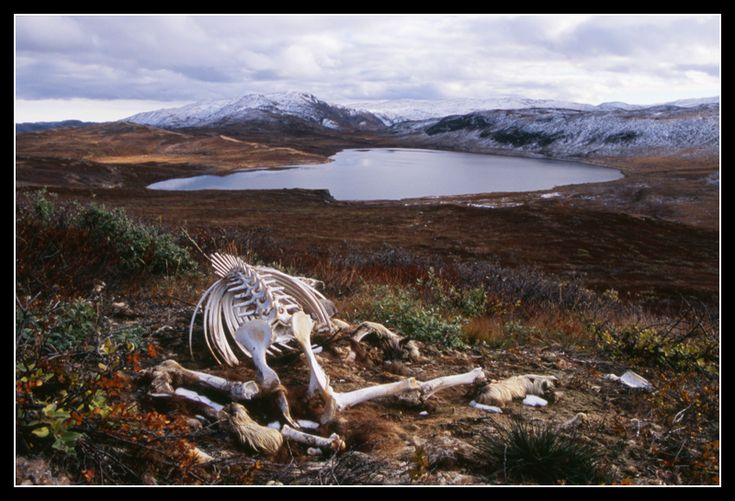 The winter is coming. A musk ox skeleton in Greenland.  By: Tamas Farkas