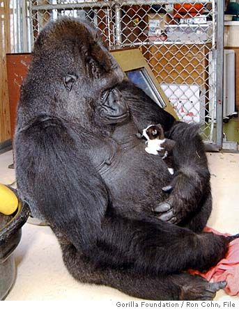 Amazing Koko with her pet cat.  She communicates in American Sign Language.  She has a large vocabulary, and creates sentences, even inventing new ideas.