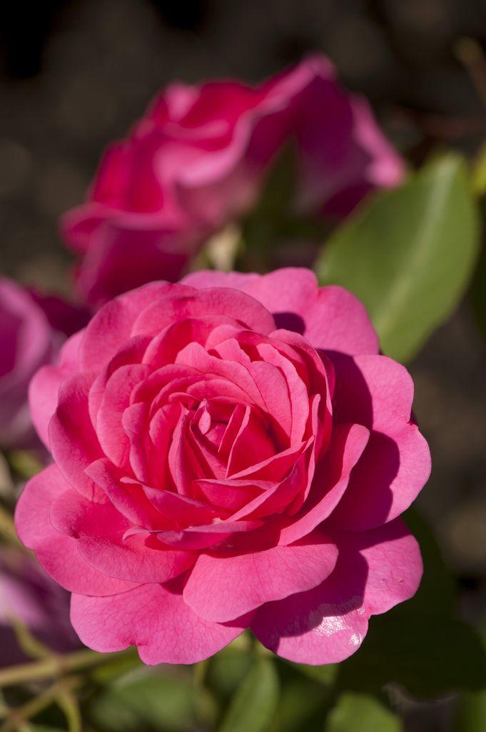 'Sir John Betjeman' |  Shrub.  English Rose Collection. Bred by David C. H. Austin (United Kingdom, before 2008) | Flickr - © NYBG, Photo by Ivo M. Vermeulen