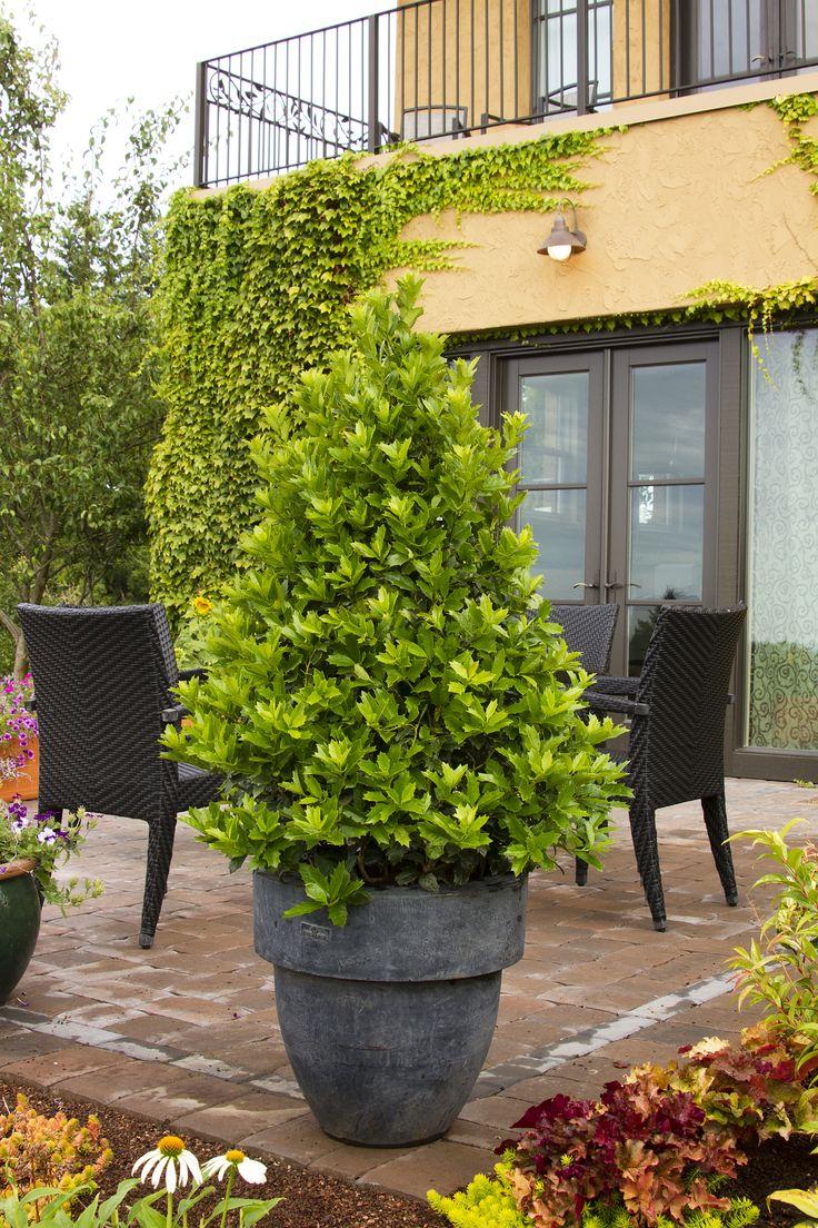 showy winter shrubs plant