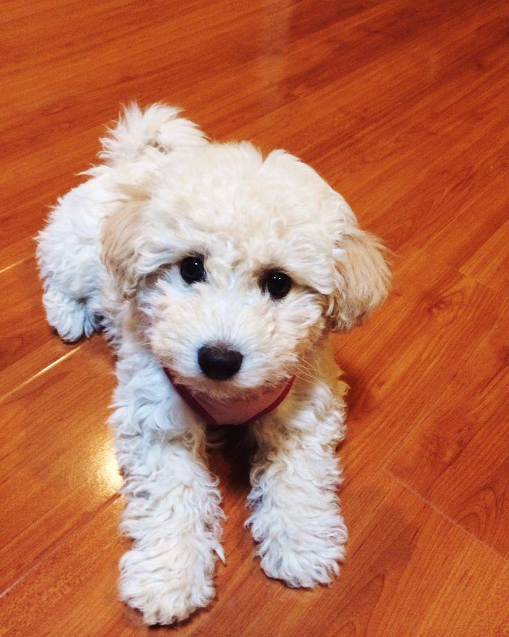 Maltipoo Puppies For Sale Newfoundland And Labrador Canada