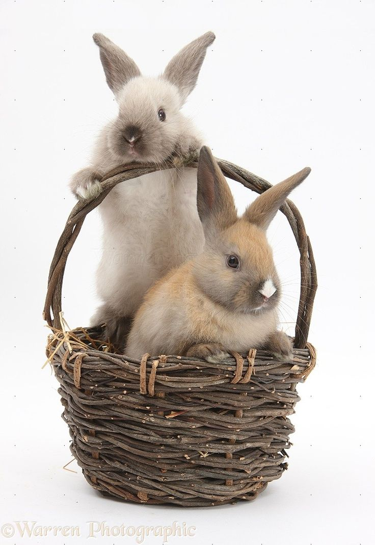 Baby rabbits in a wicker basket