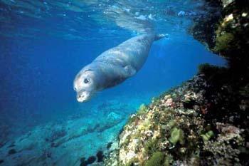 La foca monaca del Mediterraneo è una delle specie animali maggiormente minacciate d'estinzione al mondo: le stime della popolazione superstite indicano oggi un numero complessivo di circa 350-400 individui, distribuiti in piccoli nuclei tra le isole greche, le coste mediterranee della Turchia e il Mar Nero. La sopravvivenza della foca monaca del Mediterraneo è da imputare alla sua capacità di continuare a sopravvivere e riprodursi, tenendosi nascosta agli sguardi di pescatori e turisti.
