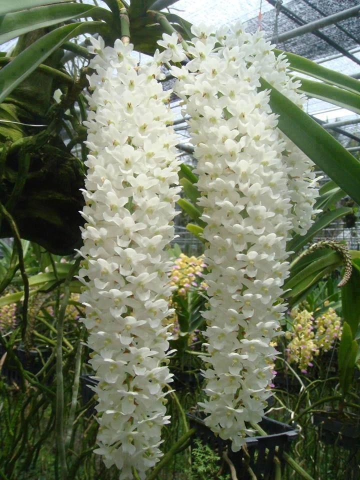 Gardens beautiful and vanda orchids for Jardines de orquideas