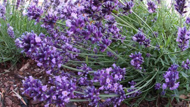 Lavendel muss nach der Blüte zurückgeschnitten werden. (Quelle: imago/Frank Müller)