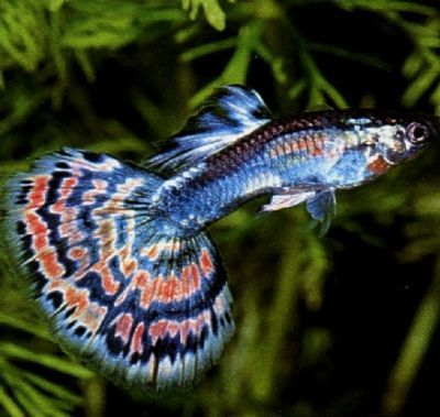 Fancy Guppies very easy fish for 1st timers or children. Very easy to breed and delivery young (fry) live.