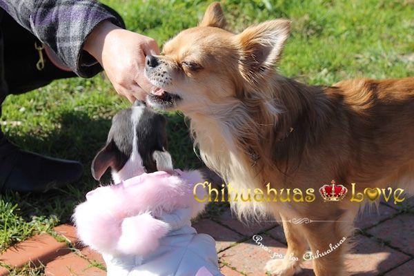 Chihuahuas Love - Premiar ó Castigar a Un Chihuahua. Saber Tratar a Un Chihuahua. 1ª Entrega.