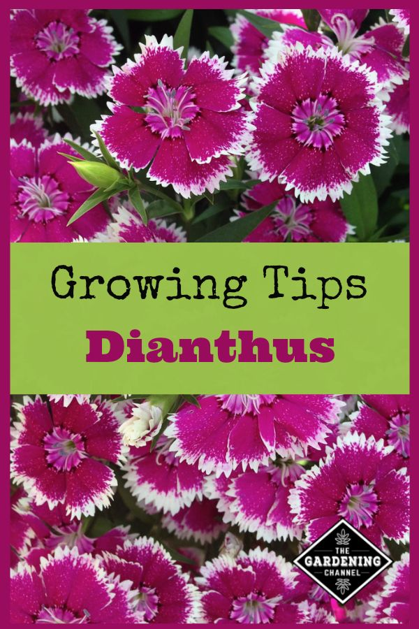 Growing Dianthus Dianthus Flowers Container Flowers Flowers Perennials