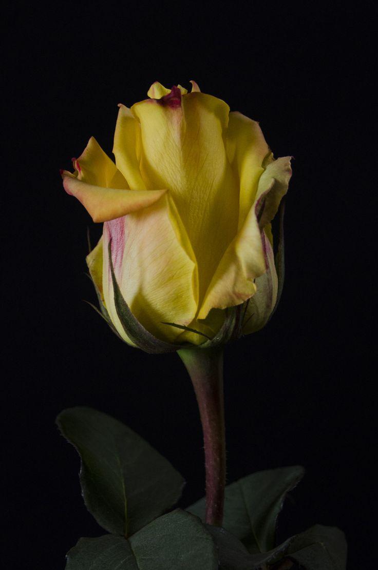 ✿⊱❥ MOHANA - Eden Roses Ecuador