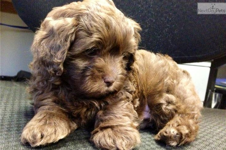 Meet Rolo a cute Shih-Poo - Shihpoo puppy for sale for $995. Exotic Brown Green Eyed Male Shi-Poo