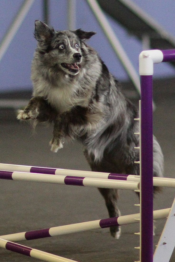 Roller skates for dogs - Cookie Can Jump