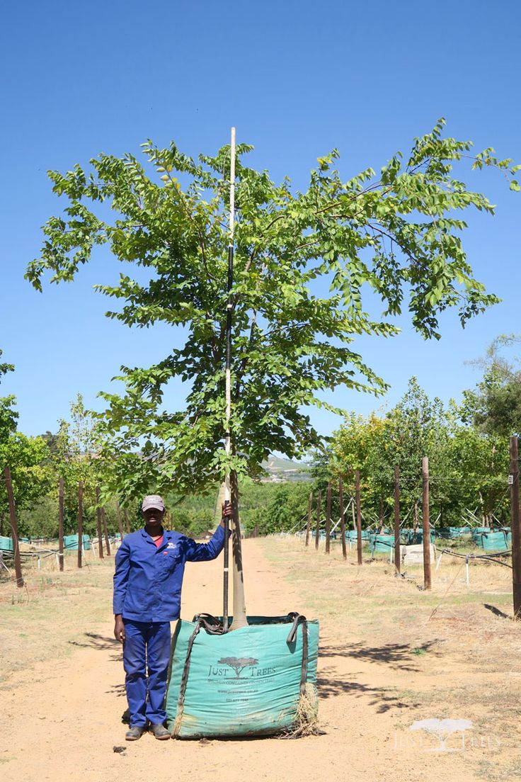 1000L Celtis africana (White Stinkwood). This indigenous tree is a beautiful addition to any landscape with its smooth pale bark that contrasts with light green leaves, which turn darker as they mature. Fast and easy to grow, the Celtis africana is particularly good as a shade tree.