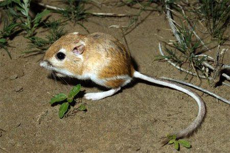 Adorable little kangaroo rat. C: