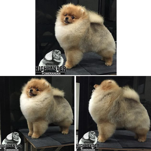 AnjingKita.Com - Pomeranian Jantan Show Quality (+Video) - Anjing Pomeranian
