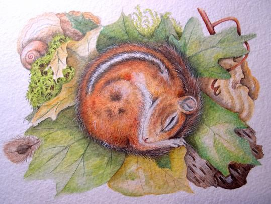 sleeping chipmunk | Watercolor and Colored Pencil, Original Painting on 140# Watercolor ...: Originals Paintings, Color Pencil, Pencil Drawings, Colored Pencils, Sleep Chipmunks