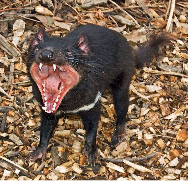 Demonio de tasmania - Que Come   Donde Viven, Como Nacen