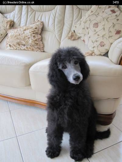Silver Standard Poodles for Sale | BreedersOnline.co.uk - Puppies For Sale