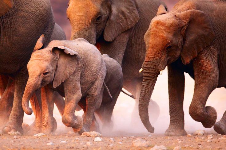 Você sabia que os elefantes raramente desenvolvem câncer? Para explicar por que isso acontece, um grupo de cientistas da Universidade de Utah realizou um estudo e analisou um determinado gene dos animais. O resultado foi publicado nesta quinta-feira (8) pela revista científica 'Journal of the American Medical Association' (JAMA).