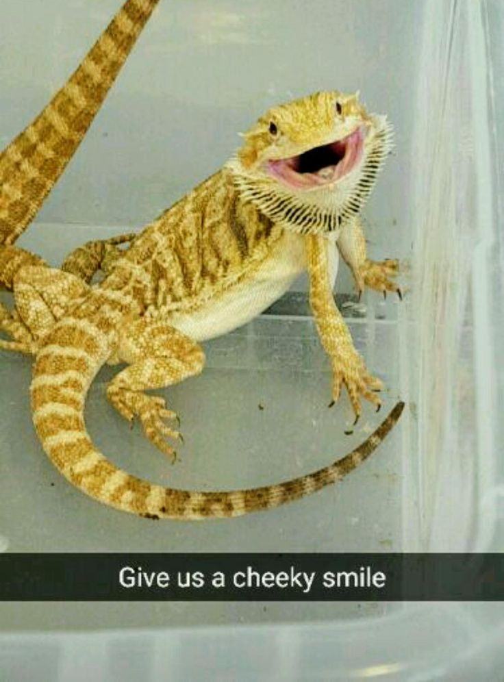 My brother's bearded dragon was strangely happy about moving houses today http://ift.tt/2h816dh