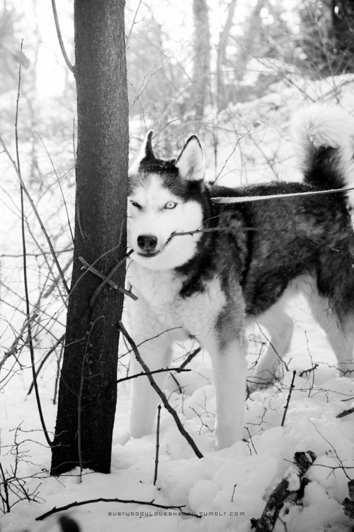 ...: Husky Inspiration, Huskys Wolves, Husky Snow, Snow Dogs, Husky Livin, Amazing Animal, Munch, Husky Husky Husky, Cutest Animal