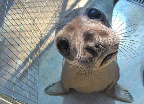 Hello: Seals, Face, Animals, Cuteness, Sea Lion, Adorable, Baby Seal