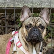 French Bulldog Rescue Network :: Henrietta in NC