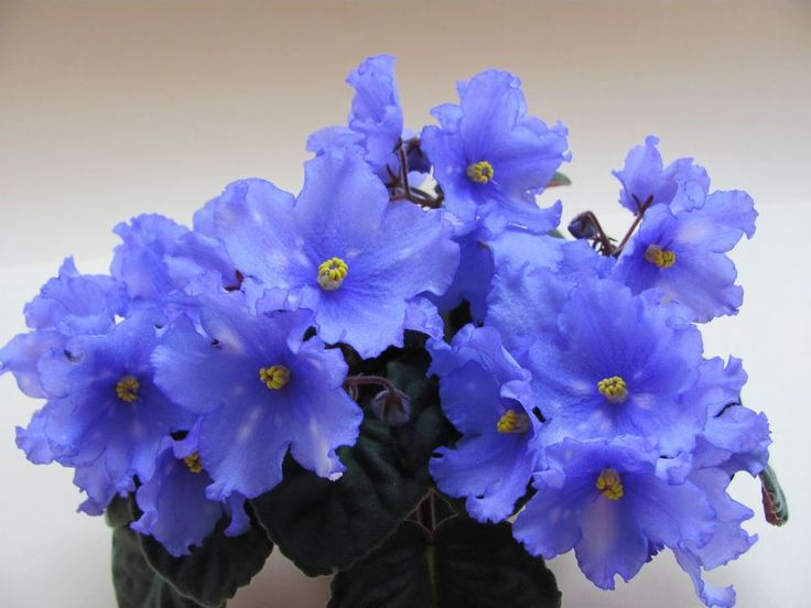 African violet AE Blue System Russian | African Violets ...