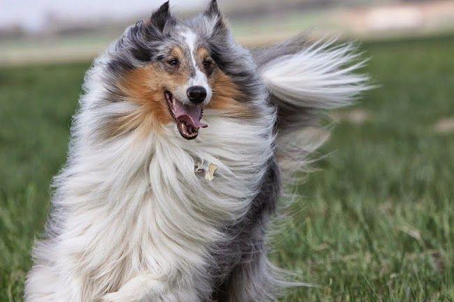 #Psy rasy Owczarek Szkocki Długowłosy